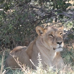Global water institute research - Lion in Okavango Delta, Botswana