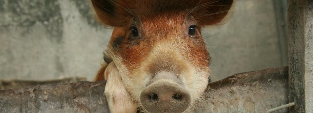 Pig in Kiribati - UNSW Global Water Institute