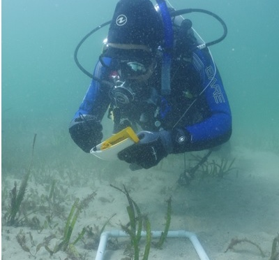 Samuel Burrell studying the declining, endangered seagrass Posidonia australis at Manly Cove. Image: Kingsley Griffin